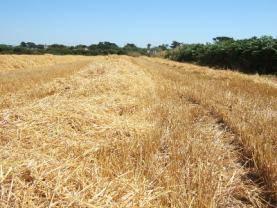 straw_field